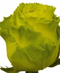 Žalios rožės