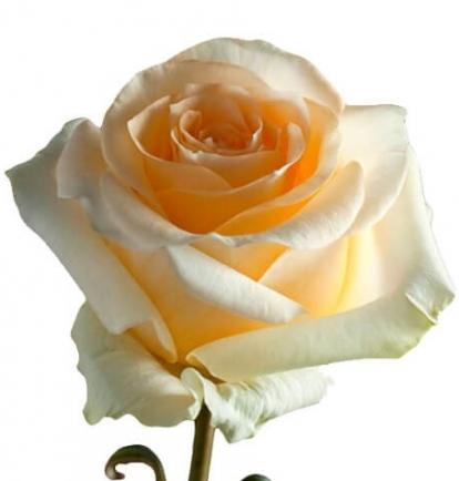 Kreminės rožės