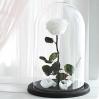 Mieganti Rožė (Balta) 0
