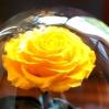 Mieganti Rožė  - geltona 1