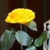 Mieganti Rožė  - geltona 3
