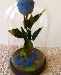 Mieganti rožė (Mėlyna)