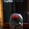Mieganti Rožė (Raudona) 0