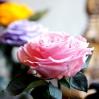 Mieganti Rožė - rožinė 2
