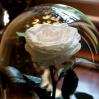 Mieganti rožė - balta 1