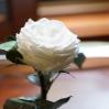 Mieganti rožė - balta 2