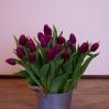 Paprastosios Tulpės 1