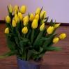 Paprastosios Tulpės 0