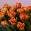Pilnavidurės tulpės 1