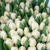 """Puokštė tulpių 51vnt """"Ivory"""" 1"""