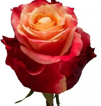 Rausvos 3D rožės
