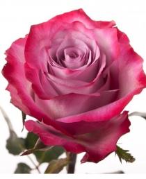 Violetinės rožės